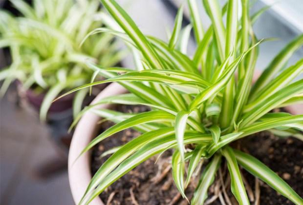 Plantas que ayudan a purificar el ambiente de tu casa - plantasinterior9-1