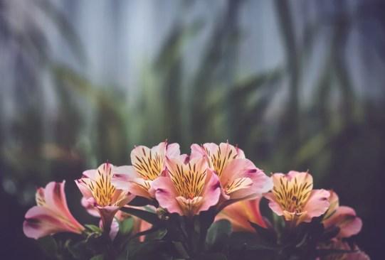 ¿Sabes cuáles son las flores favoritas de las mexicanos actualmente? Regálalas este 14 de febrero - astromelias-300x203