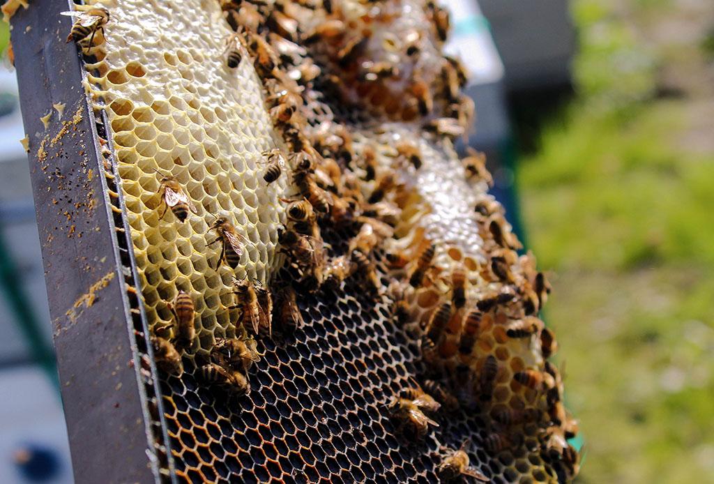 Así es como puedes ayudar a las abejas, este insecto vital en el planeta tierra