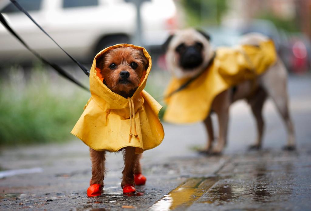 ¿No puedes pasear a tu perrito? Con estas apps podrás encontrar ayuda - perros-lluvia-1024x694