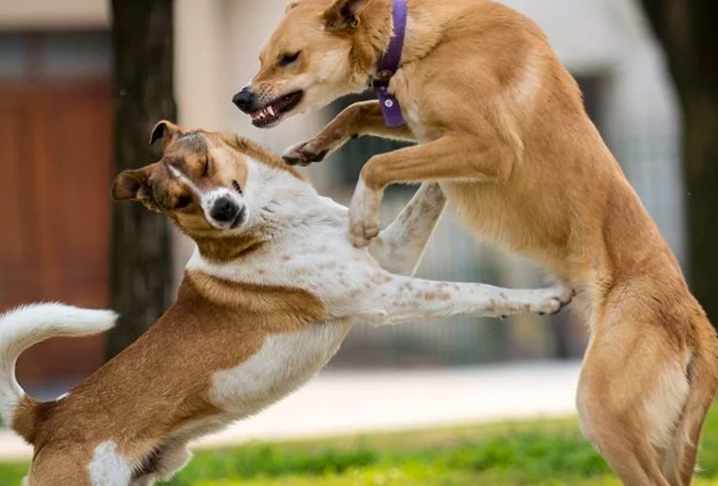 Cómo separar una pelea entre perros (y si deberías)