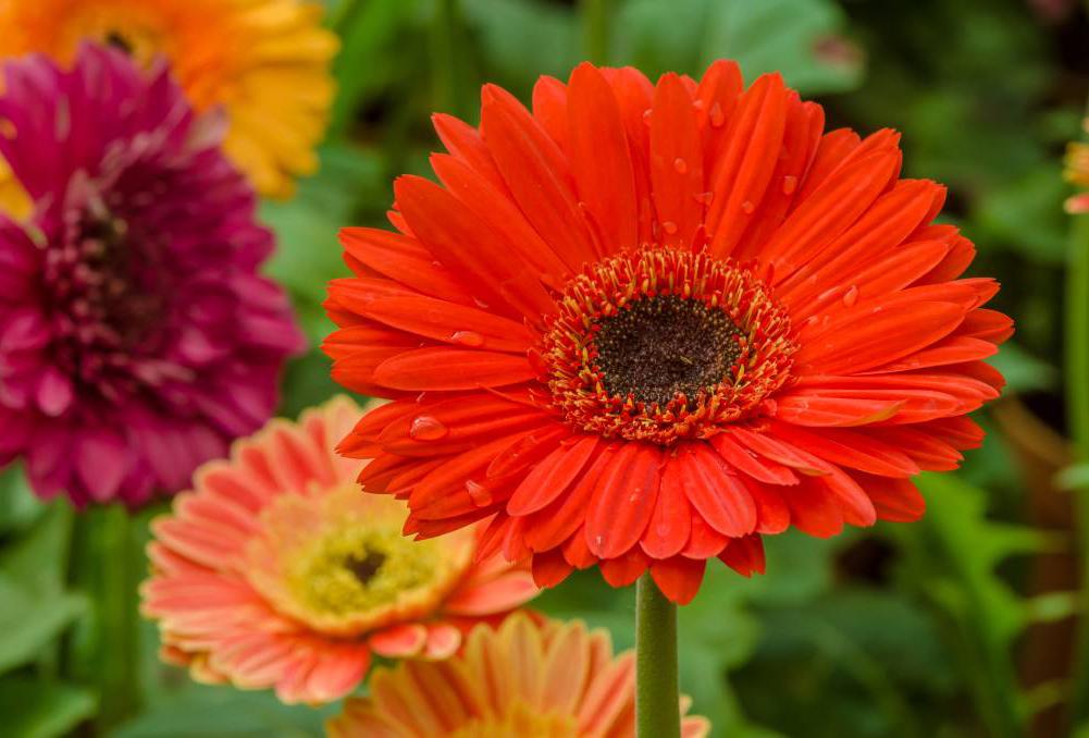 Plantas que le darán una nueva fragancia a tu hogar - gerberas