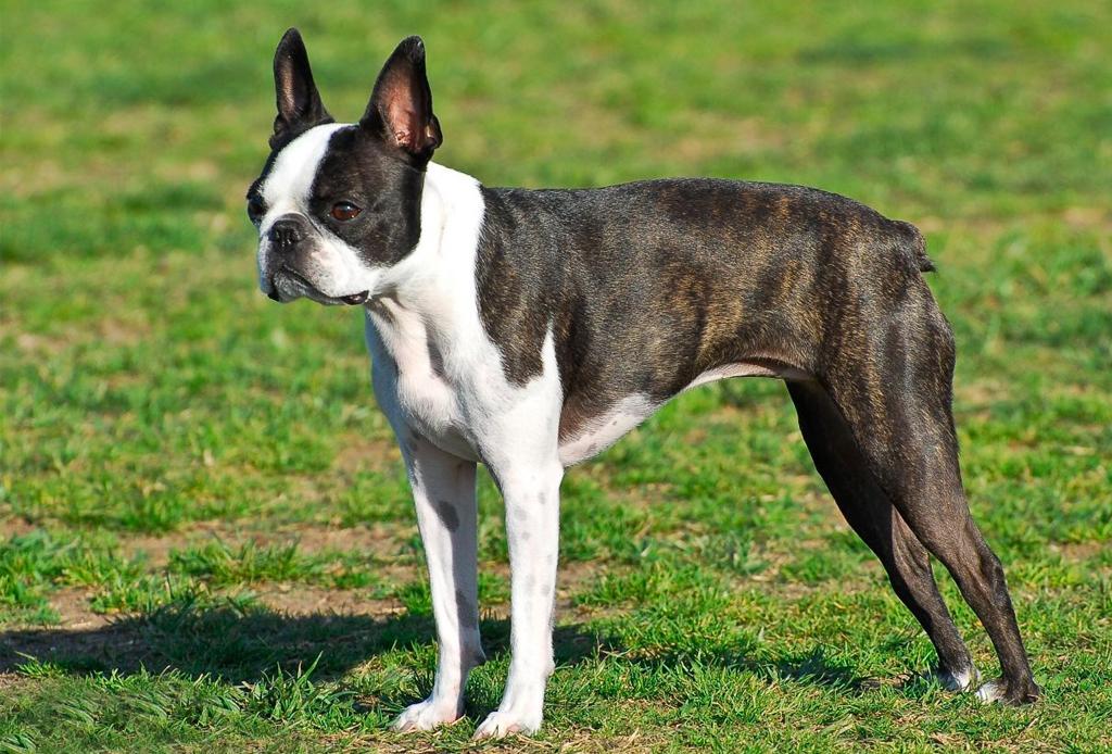 Las razas de perro ideales para viajeros, elige la mejor para ti - perros-viajeros-6-1024x694