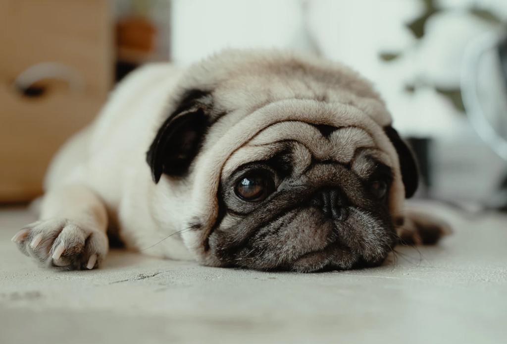 Estas razas de perros conviven perfectamente con los felinos - pug-1024x694