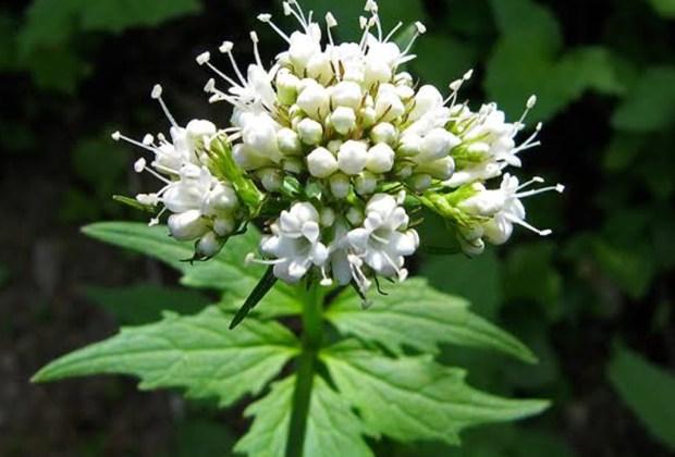 Remedios naturales que puedes tener en tu jardín - valeriana