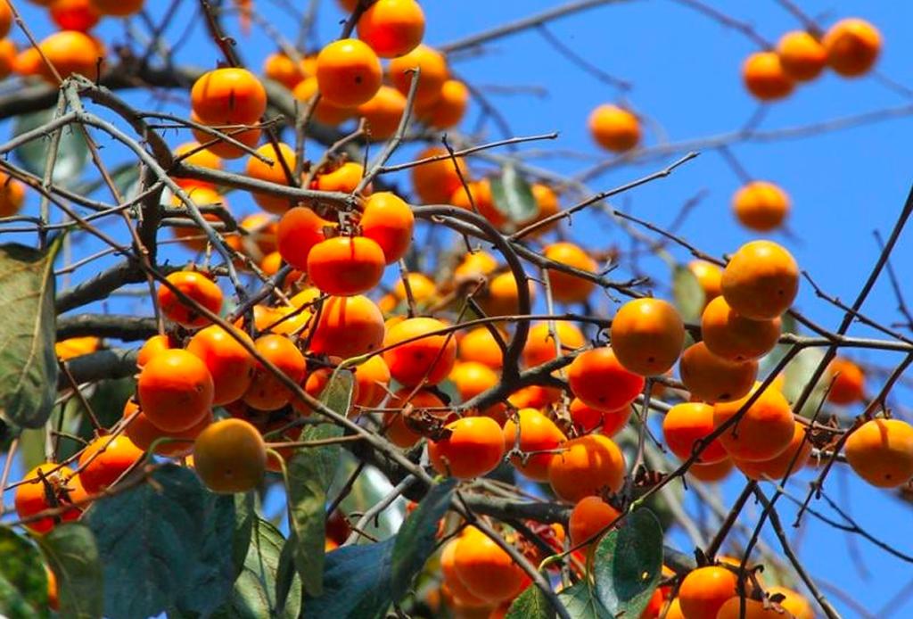 ¿Conoces el persimón? Te contamos sobre los beneficios de esta fruta - persimon-3