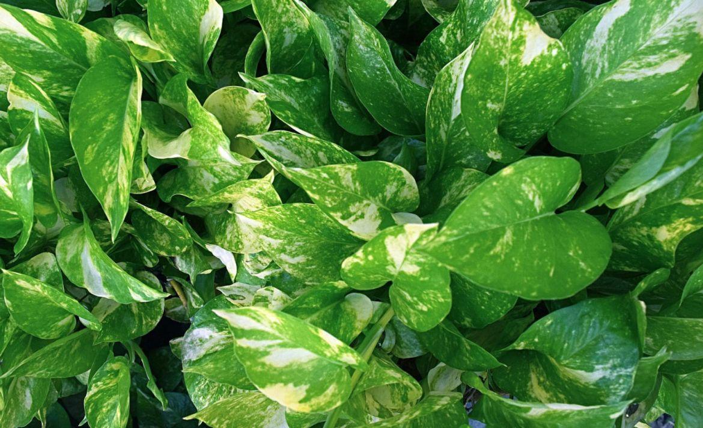 ¿Quieres entender el mundo de las plantas? Estas son las mejores para principiantes - potos-plantas-principiantes