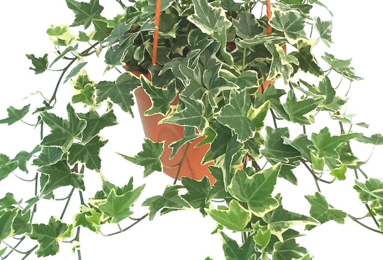 Las plantas colgantes más cool para tu casa, serán originales - plantas-para-colgar-hiedra-inglesa