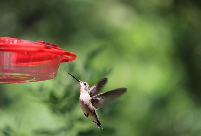Aprende cómo atraer naturalmente los colibríes hacía tu jardín - alimento-para-colibries-hecho-en-casa