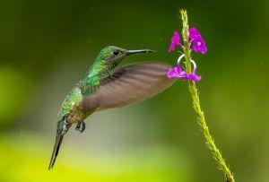 Aprende cómo atraer naturalmente los colibríes hacía tu jardín