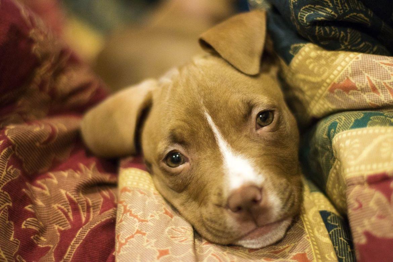 7 beneficios de adoptar un perro - perro-mascota