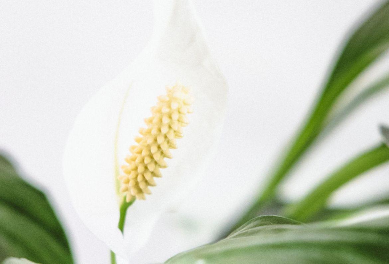 4 flores que pueden ayudarte a reducir tu ansiedad - lirio-de-paz