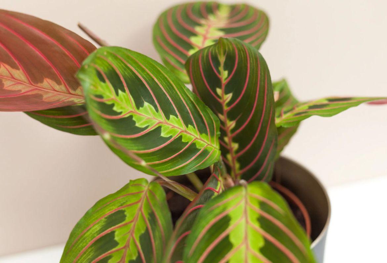7 plantas para las amantes del color rosa en interiores - maranta-plantas-hojas-color-rosa