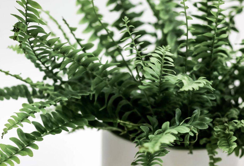 Si tienes gatos en casa, estas plantas son perfectas para tu jardín interior - plantas-seguras-gato-helecho-boston