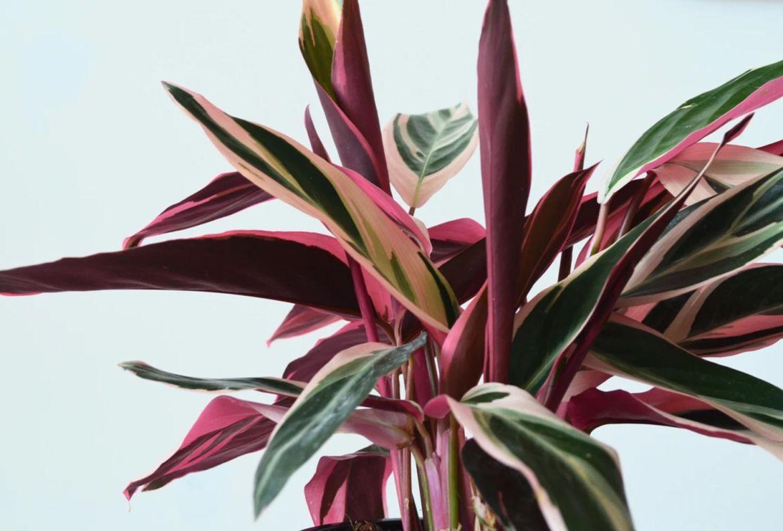 7 plantas para las amantes del color rosa en interiores - stromanthe-plantas-hojas-color-rosa
