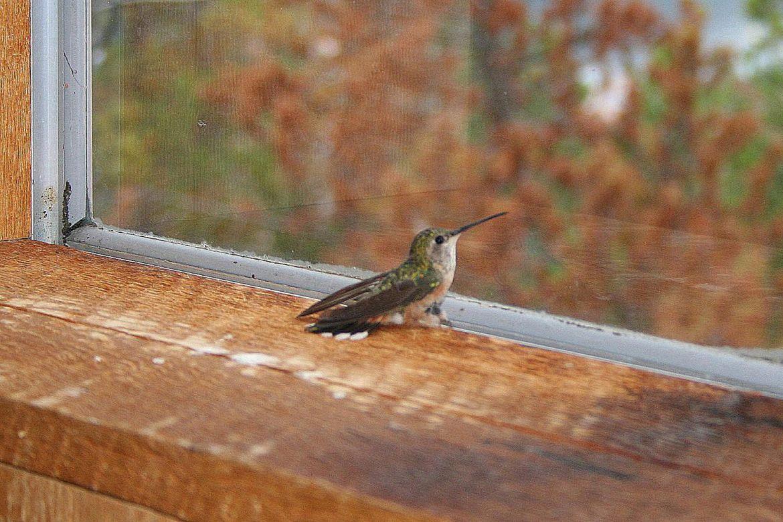 Cuatro razones para tener un bebedero de colibríes - colibri-casa-1480x987