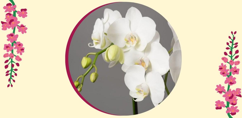 Tipos de orquídeas más populares que tienes que conocer - sabrina-31-1