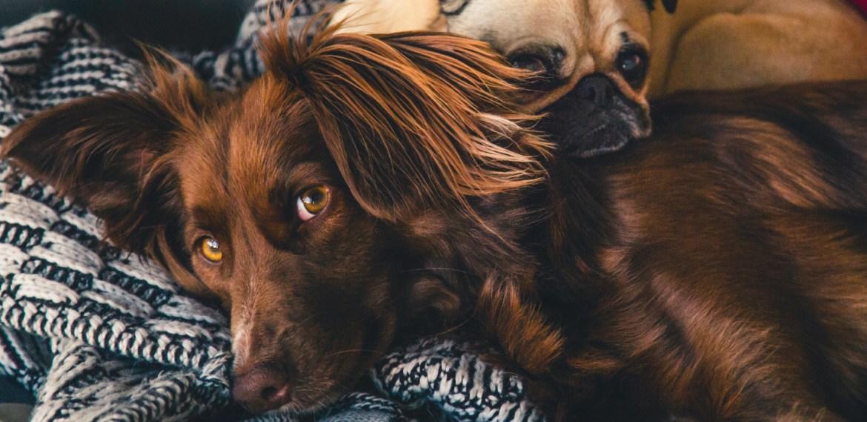 ¿Perros llorando? ¡Te compartimos 6 motivos que lo causan! - sabrina-8