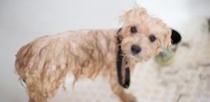 Te decimos cómo limpiar las lagañas de tu perro paso a paso