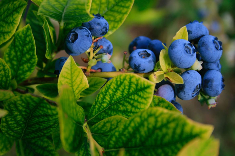 Recolecta blueberries y ten el mejor día de campo en el Berries Club Fest - unnamed-1