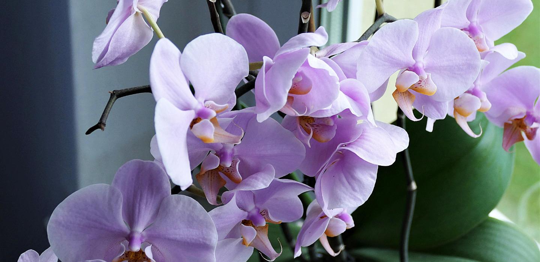 ¿Sabes lo que son los keikis en tus orquídeas?
