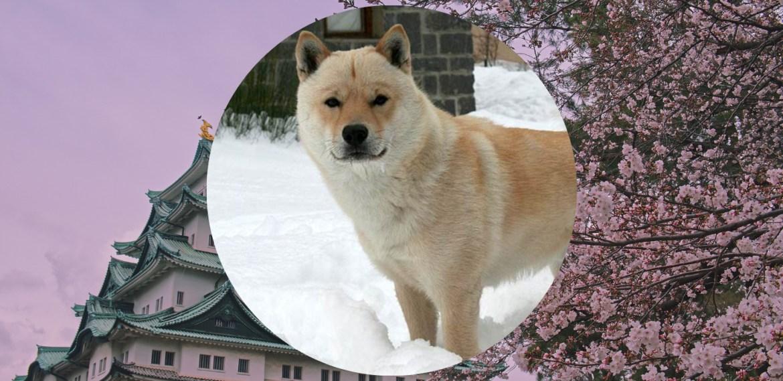 Razas de perros japoneses que te van a encantar - sabrina-2021-08-03t211551826