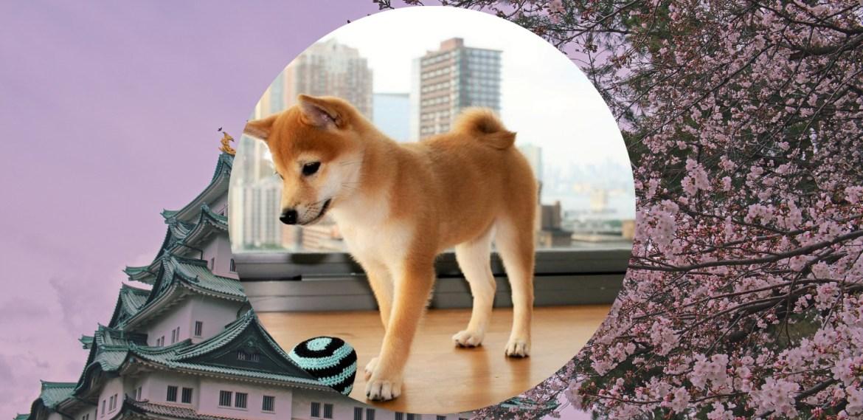Razas de perros japoneses que te van a encantar - sabrina-99