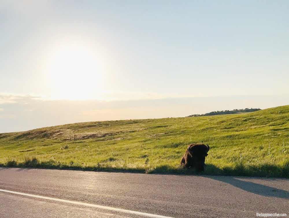 things-to-do-in-the-black-hills-see-buffalo