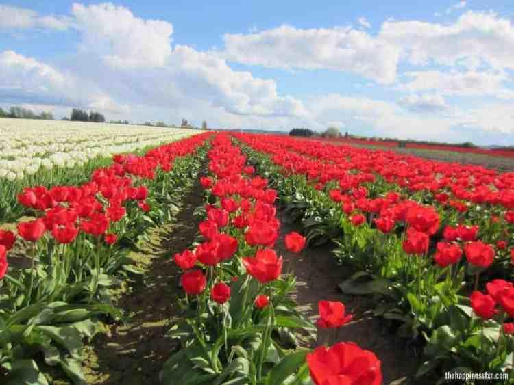 tulip-festival-washington-red-tulips