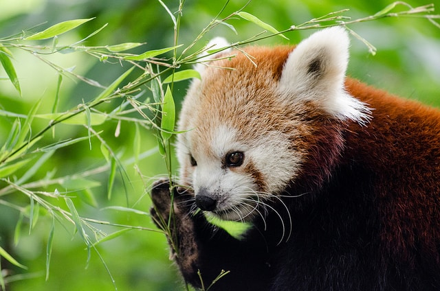 Red panda eats bamboo