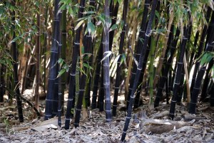 Black bamboo  – what are the options?