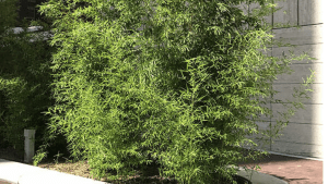 Red Margin Bamboo – All You Need to Know