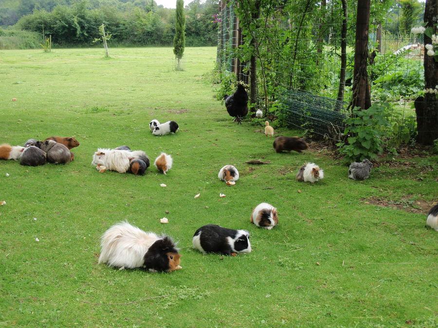 happy-guinea-pigs-outside