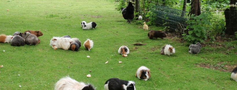 happy-guinea-pigs-outside