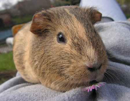 Guinea-pig-lap-time