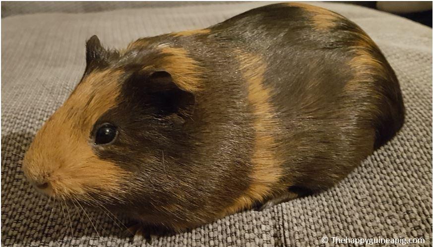 happy-guinea-pig
