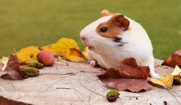 Helping-your-guinea-pigs-settle-in