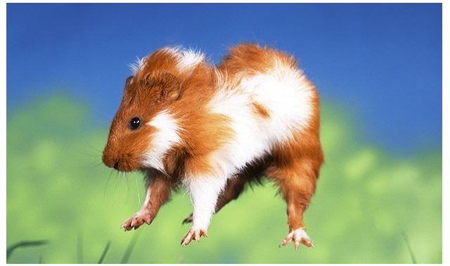 Guinea pig jumping in the air