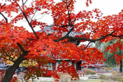 Herbstlaub im Gyeongbokgung Palast, Seoul, Korea