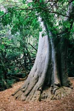 Big_tree_kirstenbosch