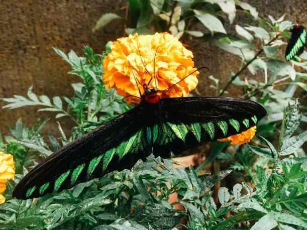 Cameron Highlands Schmetterlingsfarm Schmetterling schwarz