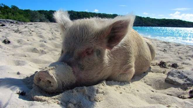 Swimming pigs Exumas sunbathing on beach