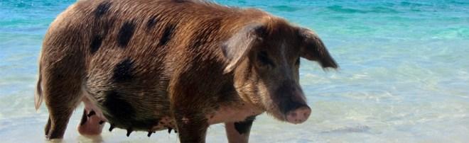 Pig on a beach
