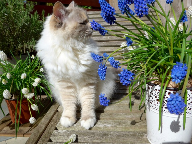 Birman Cat Coco
