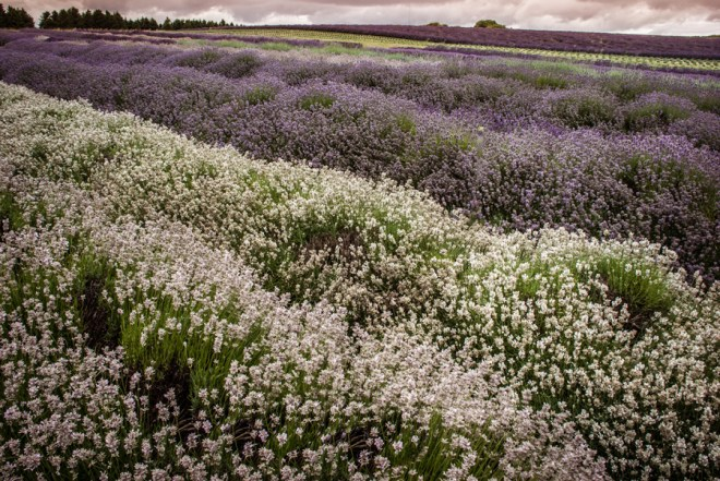 Cotswold Lavender fields - multicoloured lavender - rows of lavender - white lavender