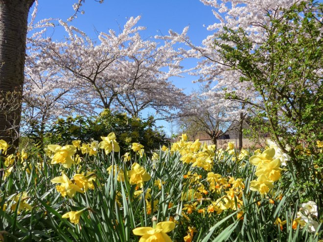 Spring-Flowers-and-cherry-blossom-at-Forty-Hall-Farm