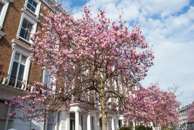 Sunderland-Terrace-Notting-Hill-Magnolia-Blossom