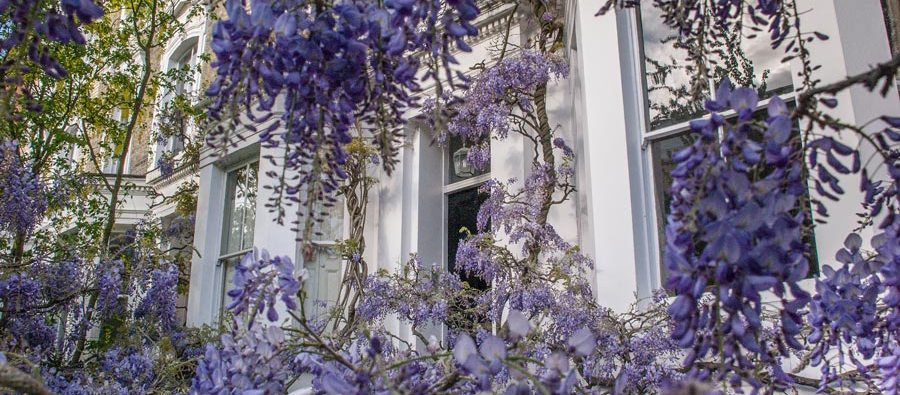 Wisteria In London - London in Bloom - Wisteria Houses London