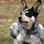 Blue Heeler Names 200 Brilliant Ideas For Australian Cattle Dog Puppies