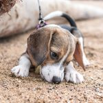 Blue Tick Beagles 30 Fantastic Fun Facts About The Dark Flecked Beagle